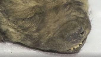 El cachorro que lleva 18,000 años congelado