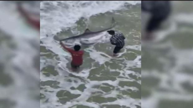 Video: Inmenso tiburón se acerca a playa de Florida