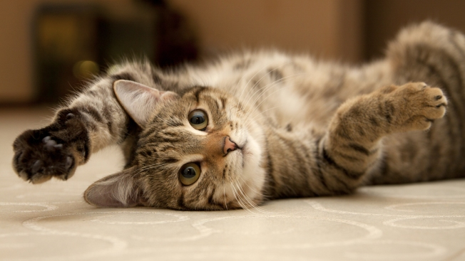 Ver videos de gatos en internet es saludable